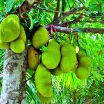 La fruta más grande del mundo